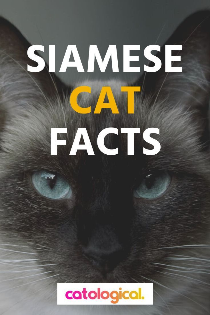 Ready To Learn Some Amazing Facts About Siamese Cats And Kittens Where Do Siamese Cats Come From What Color Fur Can Siamese Cats Facts Cat Facts Siamese Cats