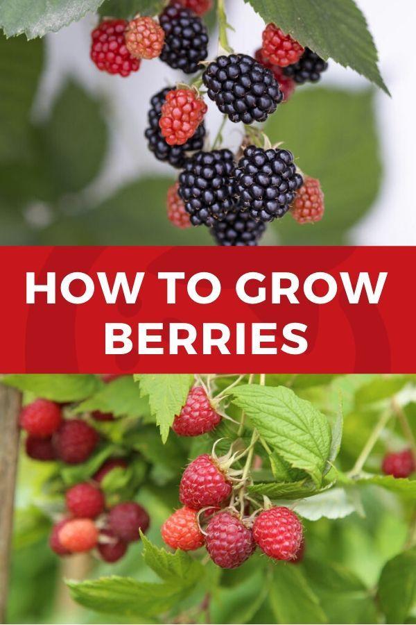How To Grow Berries Berries Growing Strawberries Berry Plants