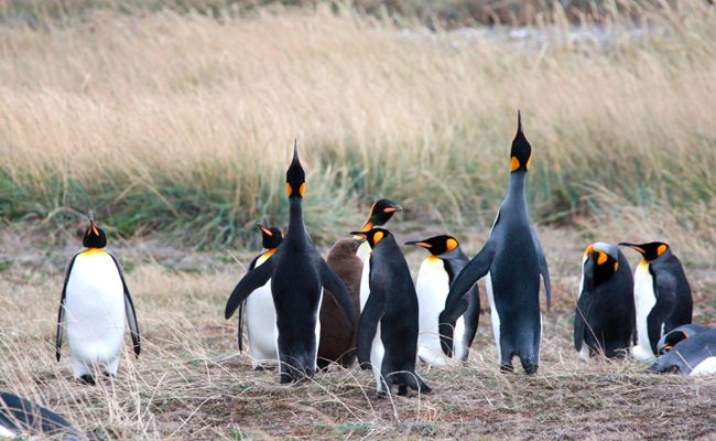 Pinguino-Rey - Cruzeiro Punta Arenas/Punta Arenas #chile #patagonia