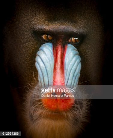 Mandrill head looking away face to face with black background