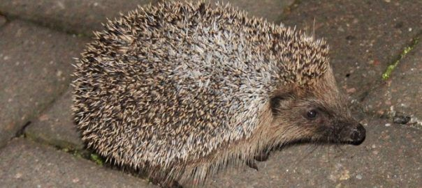 Hedgehogs are nocturnal mammals. Hedgehogs don't want to be confined to a single garden, they have wide territories and need to travel long distances each evening as they look for food.  If you are lucky enough to have a hedgehog that visits your garden there are lots of things you can do to both encourage and help hedgehogs.