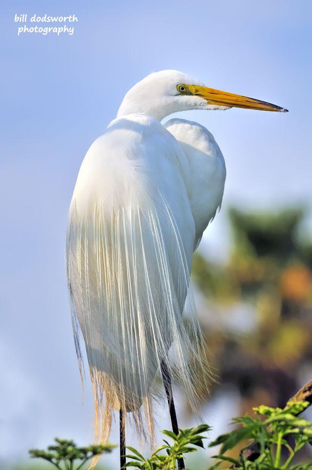 12 Best I Love Great White Egrets Images On Pinterest Birds Bird