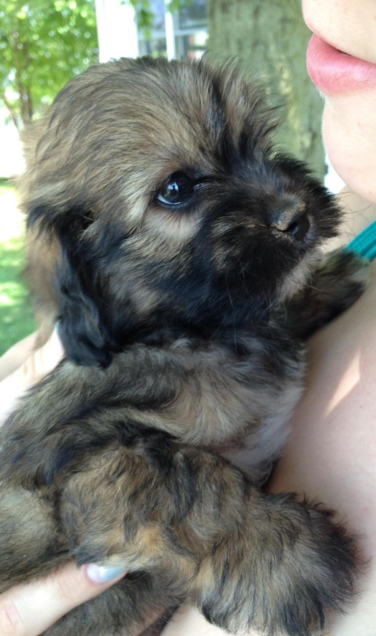 Say hello to Loki our shih poo puppy http://ift.tt/2dUQw5y