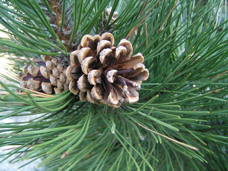 North Carolina Fraser Fir Christmas Trees