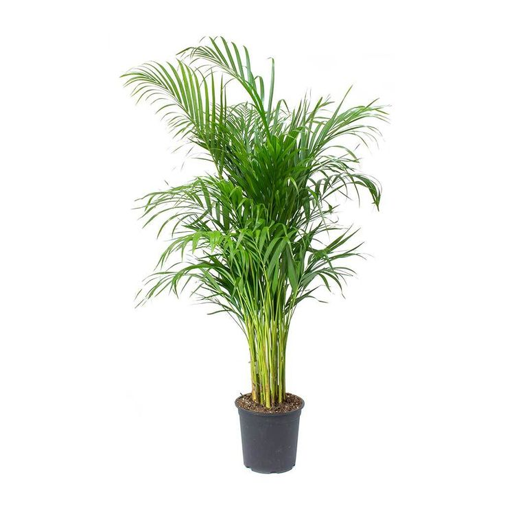 Chrysalidocarpus Lutescens Areca Palm Purify Your Air