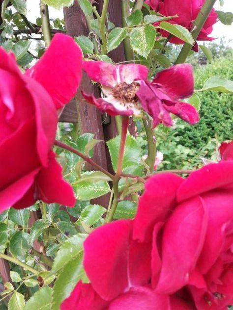 Rosen Nach Blüte Schneiden