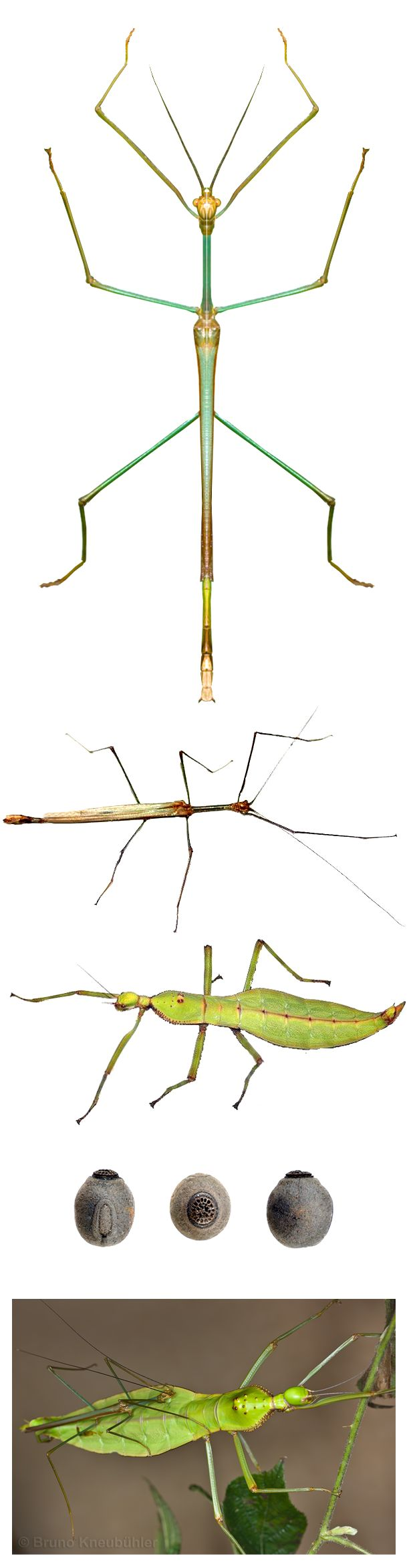 Stick Bug Anatomy Diagram - Search For Wiring Diagrams •