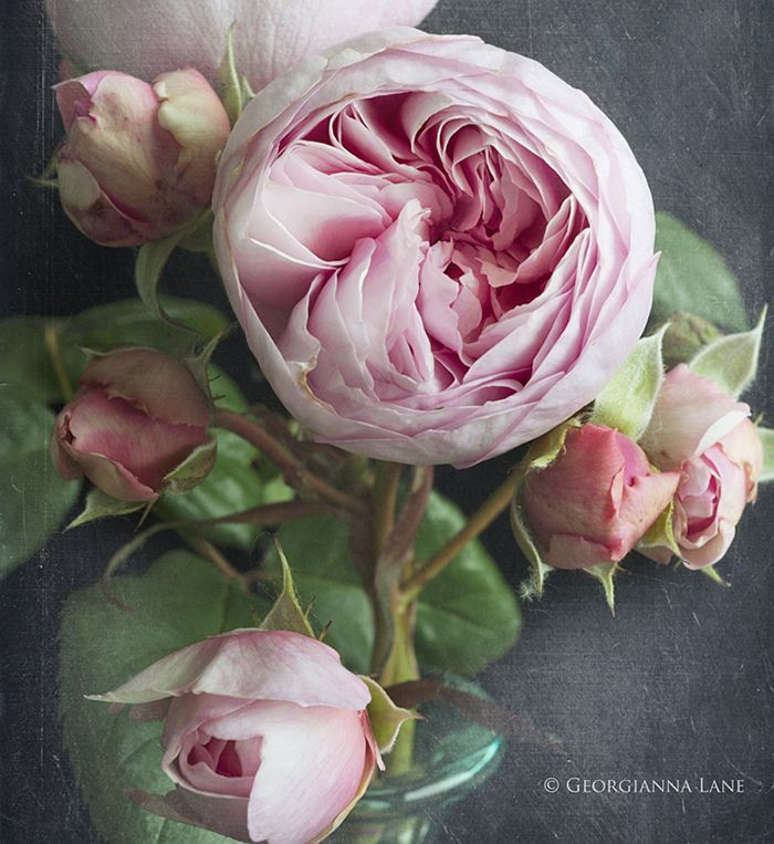David Austin Rose Geoff Hamilton from All My Thyme Farm photographed by Georgianna Lane