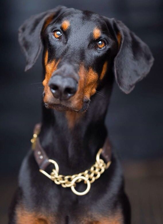 Gorgeous  Doberman                                                                                                                                                                                 More
