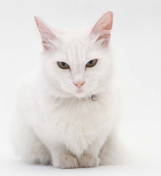 white cats pictures | White Cat Breeds