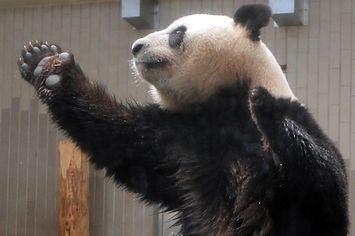 <b>Or he's just reaching for an apple.</b> Okay, fine, he's just reaching for an apple. Stop smothering my dreams! My wonderful, wonderful dreams of panda dancing!