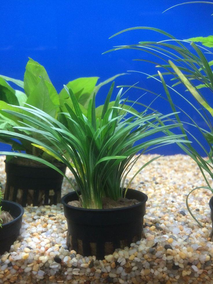 Ophiopogon Pusillus Live Terrarium Dwarf Mondo Gr Aquarium Plants Anubias