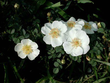 Scots Roses (Scotch Rosebush?)  Anne of Green Gables, p 298