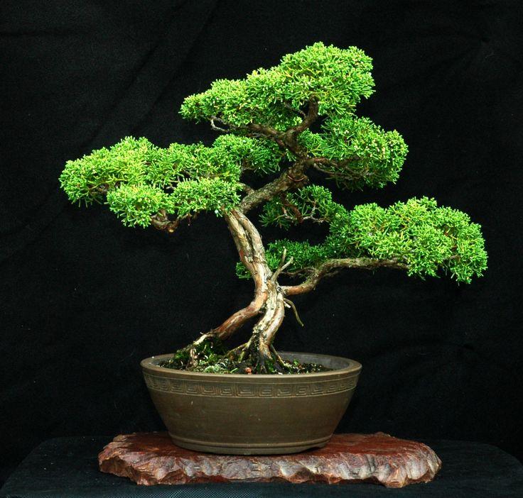 Mejores 400 im genes de bonsai en pinterest plantas - Cuidado del bonsai ...