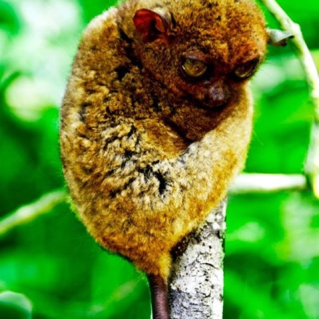 Tarsier, one of the smallest primate on earth, mostly seen in Bohol, Philippines.
