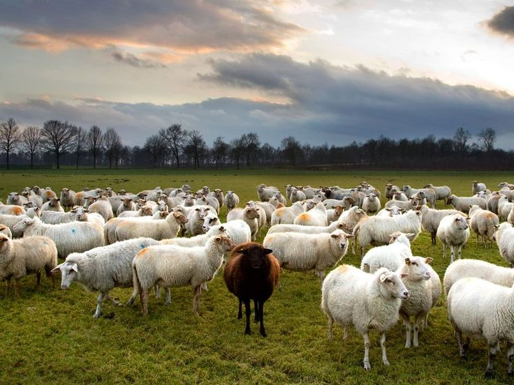 Black Sheep Photo Animals Picture National Geographic Of
