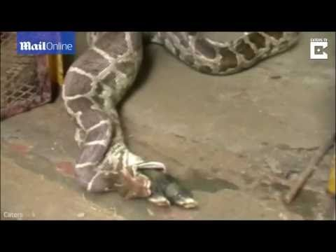 Stomach churning moment python devours and throws up antelope