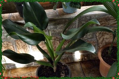 25 best ideas about planta ornamental on pinterest for Planta ornamental venenosa dieffenbachia