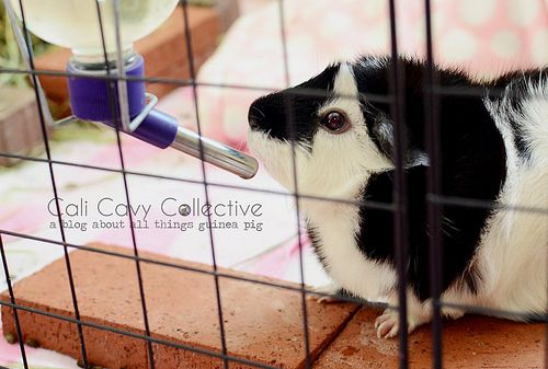 8 Reasons why you should pick up a glass water bottle for your guinea pig