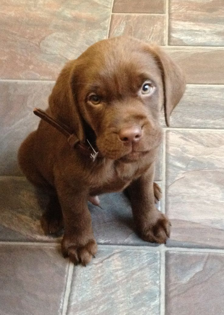 Our beautiful Chocolate Labrador puppy