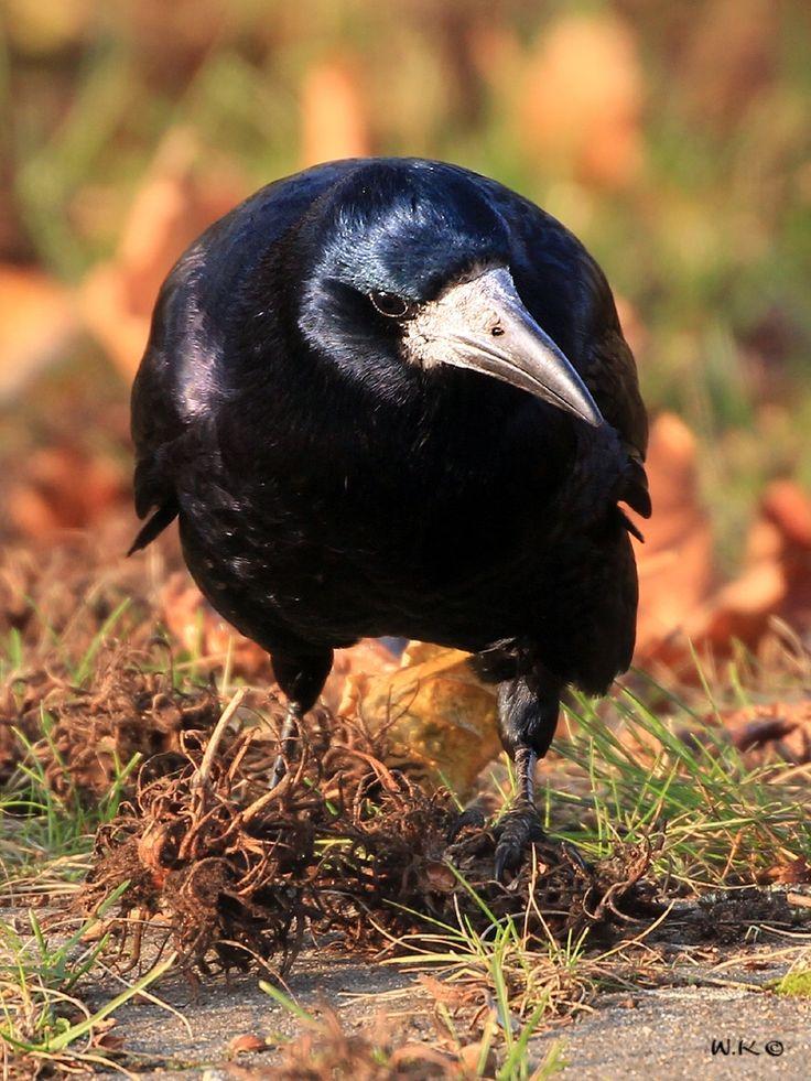 Saatkrähe ... ( Corvus frugilegus )
