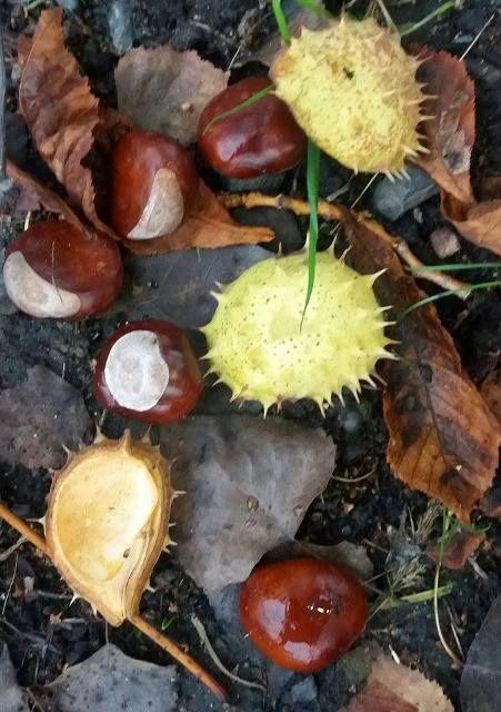 Kaštanové mazání z plodů Při procházce podzimní krajinou posbíráme cca 20 kaštanových plodů, které buď nastrouháme, nebo nakrájíme (můžeme i nadrtit). Pro zvýšení účinku lze přidat lžíci podrcených plodů jalovce (pro lepší prokrvení) a několik květů měsíčku (5-10) Vše vložíme do lahve s uzávěrem, zalijeme 40% vodkou, nebo Alpou a necháme 3 týdny luhovat. Po…