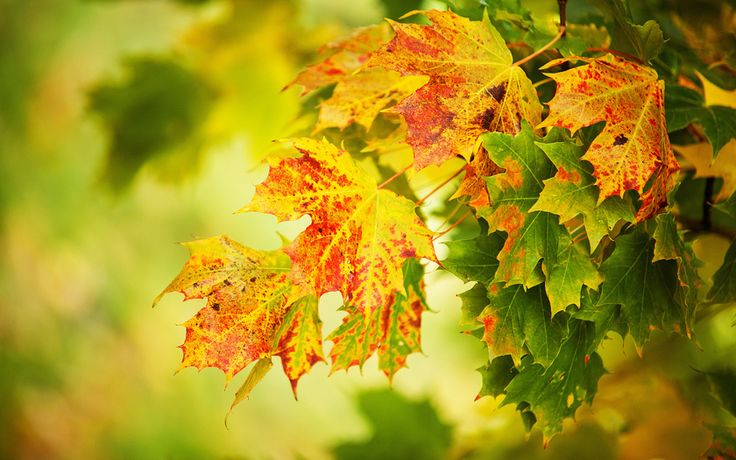 Осень, листья, макро, желтый, зеленый, макро, размытый фон