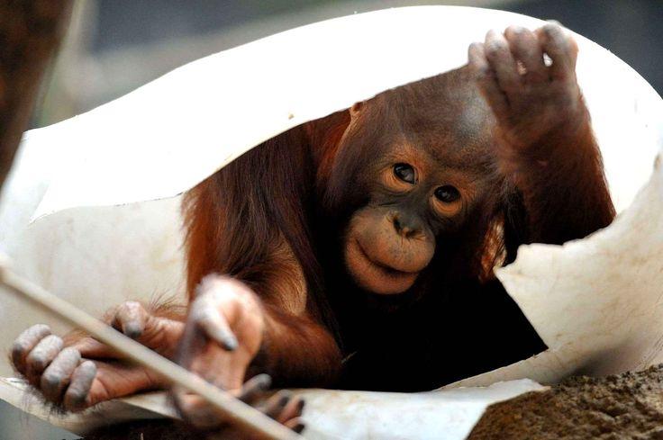 Un bébé orang-outan joue à cache-cache en République tchèque.