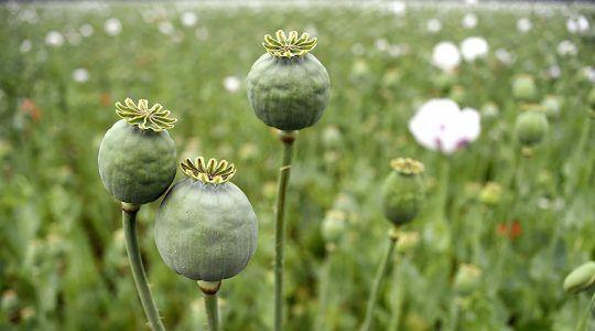Police Stumble on $500 Million Opium Poppy Field In North Carolina #news #alternativenews