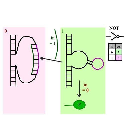 Arithmetic logic unit in a biological microprocessor: NOT gate