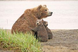 oso pardo, oso pardo, marrón cachorros de oso, cachorros del grisáceo, grisáceo, fotos fotos de oso pardo, la vida silvestre de Alaska, osos de Alaska, Alaska fotos de la fauna, alaska fotos oso, osos de enfermería, hola bahía, fauna Hola Bay