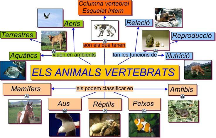 esquema vertebrats