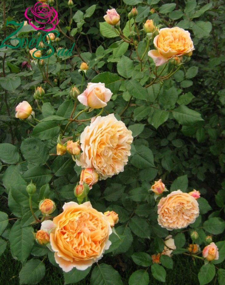 Розы - Английские - Роза Принцесса Маргарет (Crown Princess Margareta). Cадовый интернет-магазин ZvetSad.com.ua