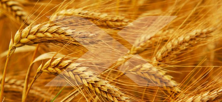 Learning that you're wheat or gluten intolerant can be something of a headache, especially when it comes to finding foods that fit in with your new diet. #selfgrowth #betrue #findingpassion #nevergiveupremember #focus #strong #strength #goals #gains #inspiration #healthy #health #instagood #instafit #fitnessmotivation #fitspiration #fitnesslifestyle #fitnessjourney #fit #fitnessaddict #gymtime #gymmotivation #gym #gymrat #gymlife #motivationmonday