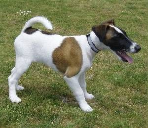 Smooth Fox Terrier dog named monty