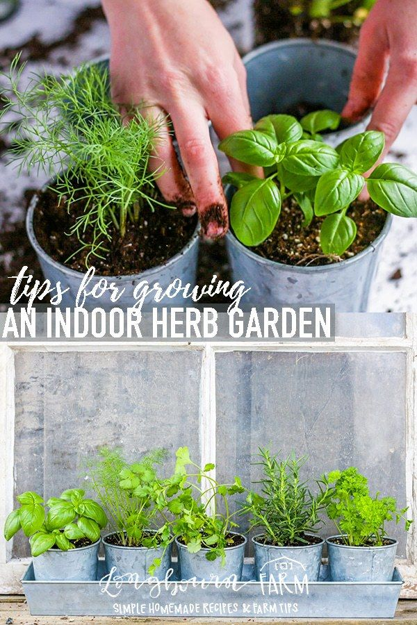 Growing Herbs Indoors Is Easy Follow These Simple Steps To Make