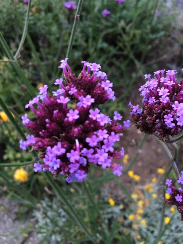 Verbena Bonariensis (verbena bonariensis): The tall stems with purple flowers is Verbena bonariensis.  It grows best in full sun with regular soil moisture.  Its small purple flowers attract bees and other pollinators to the garden and its tall slim stalks move nicely in the wind.