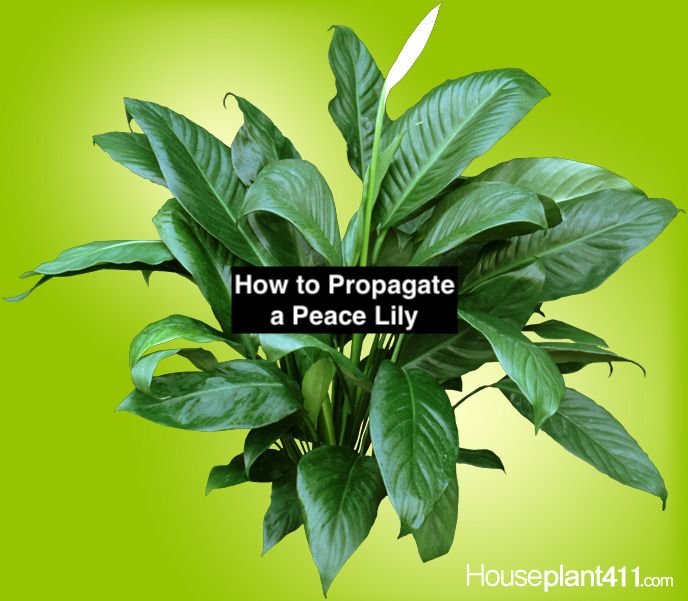 Peace Lily Propagation Peace Lily Care Peace Lily Flower Peace Lily