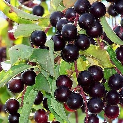 25+ Choke Cherry Tree Seeds , Under The Sun Seeds  ALSO: Nitrilosides are found in:  High: wild blackberry, choke cherry, wild crabapple, cranberry, apple seeds, apricot seeds, cherry seed, nectarine seed, peach seed, plum seed, prune seed, bitter almond, broad beans, cassava, alfalfa  In areas where amygdalin and nitrilosides are consumed year round, the cancer rates are extremely low. http://www.life-enthusiast.com/kelly-wortkoetter-a-4834.html