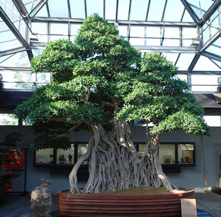 Ficus bonsai at the crespi bonsai museum in san lorenzo di for Bonsai italia