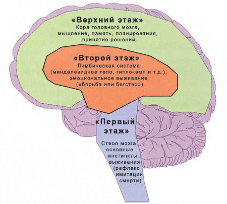 мозг человека. уровни управления