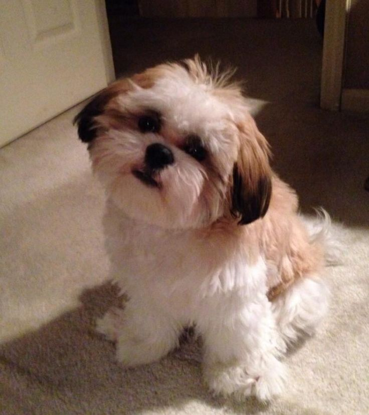 shih poo haircut styles 18 best images about all things pekingese shih tzu mix on