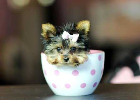 How much does a Теаcup Yorkie cost? Before finding out the exact price or the range of the average p