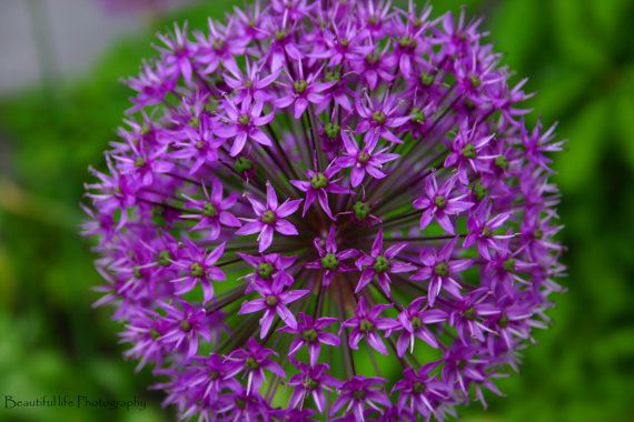 http://www.etsy.com/listing/94887377/purple-flower?