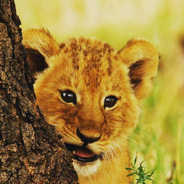 Something cute from the #Serengeti for all our wonderful followers.   Go to www.wildfrontiers.com to book a trip to wonderful #Tanzania with #WildFrontiers   #lion #cub #cute #africa