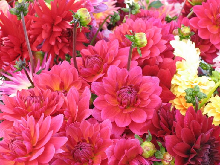 How to Grow Dahlias - simple but thorough step-by-step how-to from The Garden Glove
