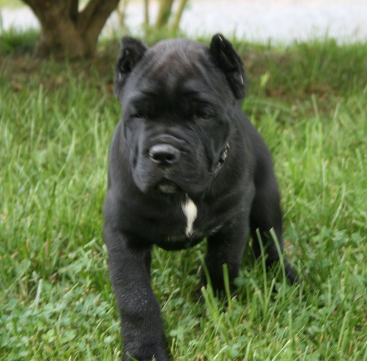 This cane corso pup will grow up to look quite intimidating.