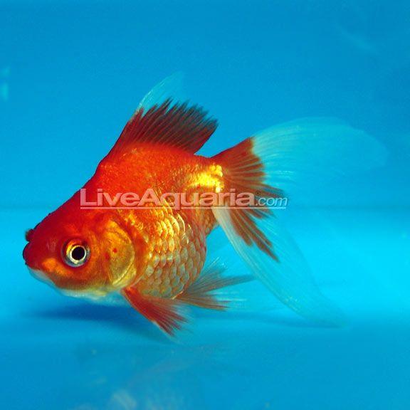 Red Ryukin Goldfish