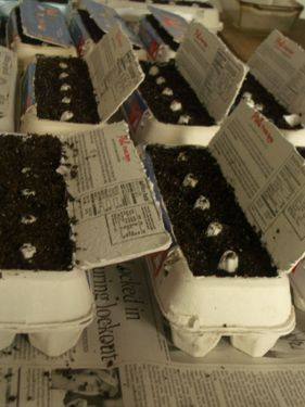 seedlings in egg cartons.