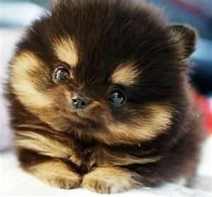 Beautiful Chubbie Chubby Adorable Dog - a6560bd4342353ffcbf2e0b0a6e5eaeb--pomeranians-chihuahuas  You Should Have_445869  .jpg